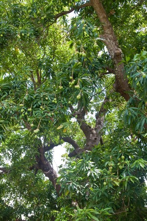 A lush tropical forest of mango trees