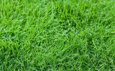 fescue: Fresh young green grass in a lawn