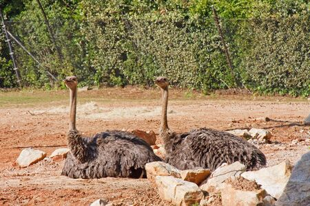 Two ostriches sitting in a dirt field
