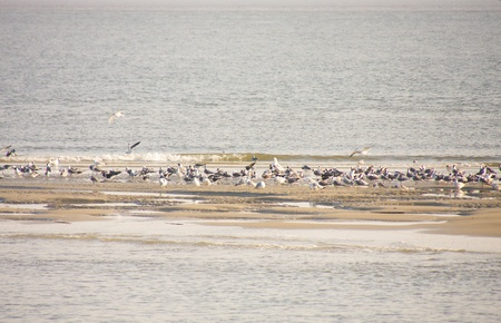 sandbar: A flock of seagulls feeding off of a sandbar in late afternoon sunlight