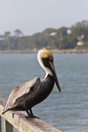 A pelican resting on an old wood pier with shore in background Banco de Imagens