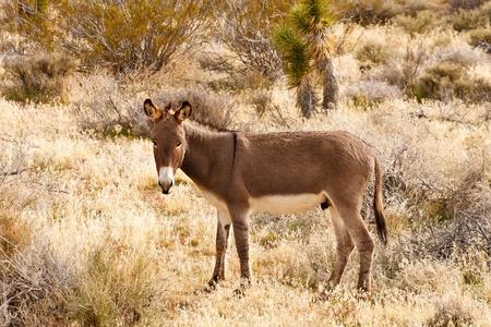 burro: A brown burro standing in dry desert scrub looking at camera