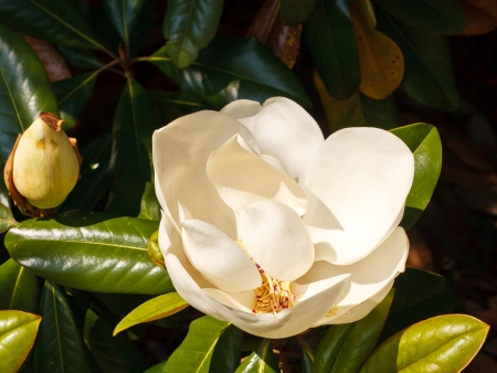 the magnolia: White magnolia blossom on a tree