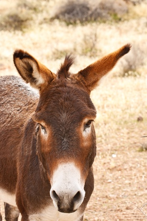 burro: A brown burro in the desert looking into the camera