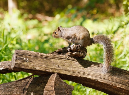 split rail: A gray squirrel perched on a split rail fence in the forest Stock Photo