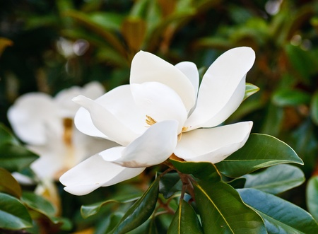 Beautiful white magnolia blossoms in a tree in summer Фото со стока