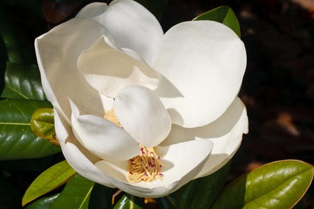 A white magnolia flower on a tree photo