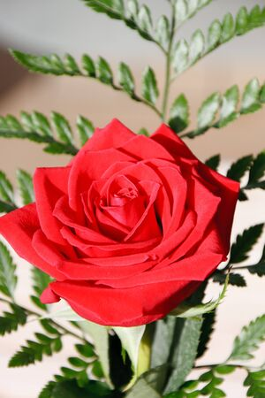 A single red rose with a green fern