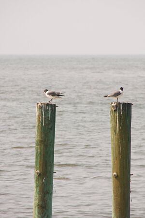 piling: Two seagulls perched on weathered pilings on the coast