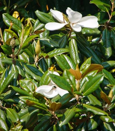 Two white magnolia blossoms on a magnolia tree in sunshine photo
