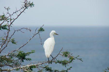 thorny: A white egret in a thorny tree by the sea
