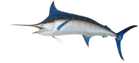 pez espada: Un pez espada o marlin colgado de una pared