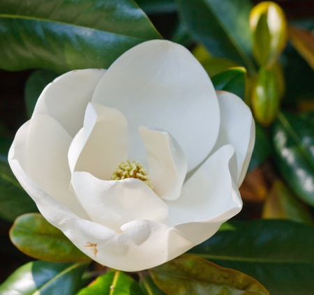 A white magnolia blossom just opening up in a tree photo