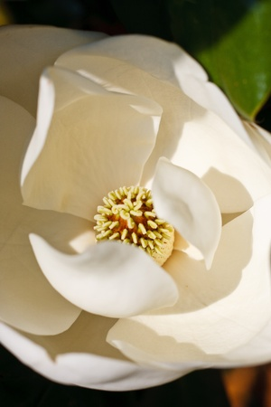 A white magnolia blossom showing center of flower