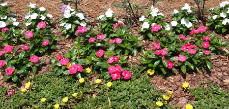 bark mulch: A garden mulched with pine bark and planted with pink and white flowers