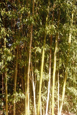 A bamboo thicket under sunny skies photo