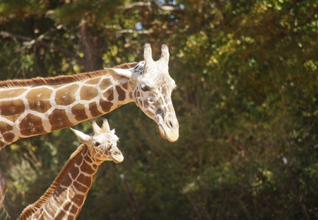 A mother and child giraffe with trees in background and copy space photo