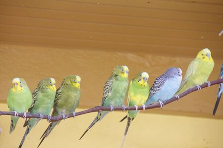 Green, Yellow and Blue Parakeets on a limb Stock Photo - 12902620