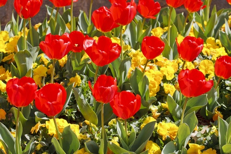 Red tulips and yellow pansies in a formal garden photo
