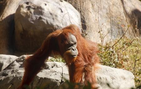 An orangutan walking among the rocks in sun