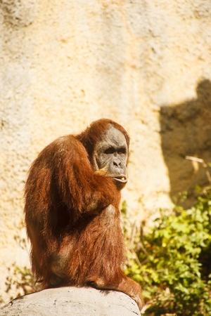 An orangutan by a stone cliff standing