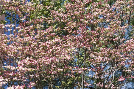 A pink dogwood tree in full bloom in the spring photo