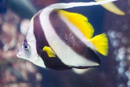 gills: A striped tropical fish swimming in an aquarium Stock Photo