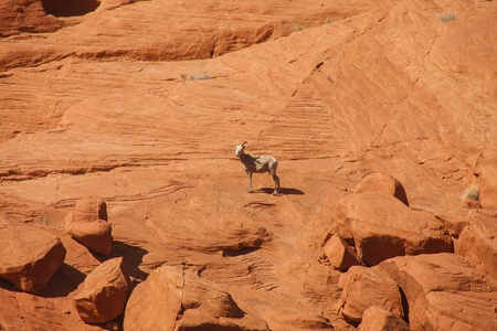 A wild goat on the wall of a red rock  canyon photo