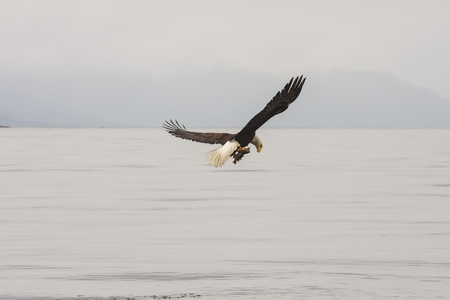 An eagle flying out of Alaskan waterway with a fish in his talons looking at food