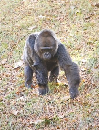 lowland: A lowland gorilla walking through the field