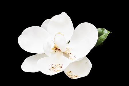 magnolia tree: A beautiful white magnolia blossom on a green tree Stock Photo