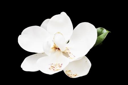A beautiful white magnolia blossom on a green tree 版權商用圖片