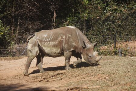 Rhinocerous from Side Grazin up Hill photo