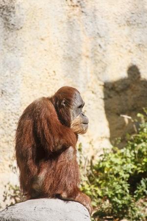 An orangutan by a stone cliff sitting on a rock