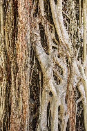 banyan: Por encima de las ra�ces de tierra de un antiguo �rbol de banyan
