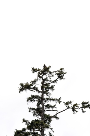 An eagle perched in the top of a tall evergreen on white background photo