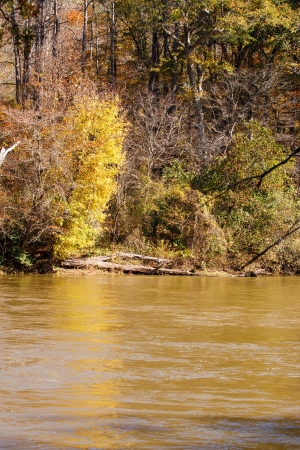 swiftly: A yellow tree on the bank of a high, muddy river flowing swiftly past Stock Photo