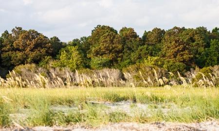sea oats: Sea oats growing between a beach and a coastal saltwater marsh