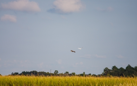 A bald eagle chasing a snowy egret across a salt water wetland marsh