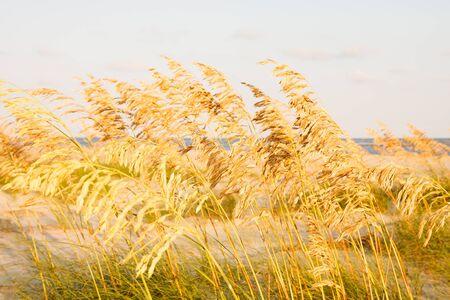 sea oats: Golden Sea Oats in a wetland marsh on the coast