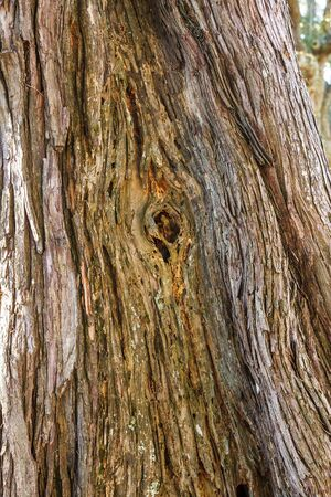 knothole: A knothole in an ancient oak tree in afternoon light
