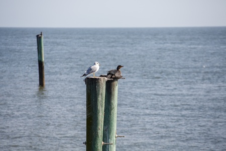 pilings: Two seabirds on weathered pilings rising from the sea