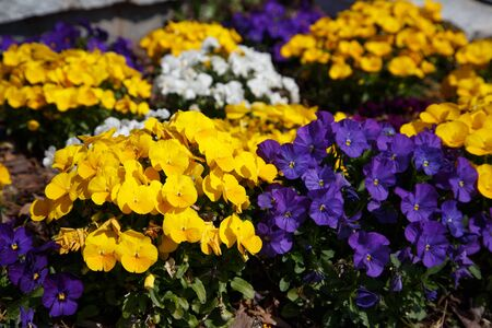 A sunny spring garden full of yellow, purple and white pansies