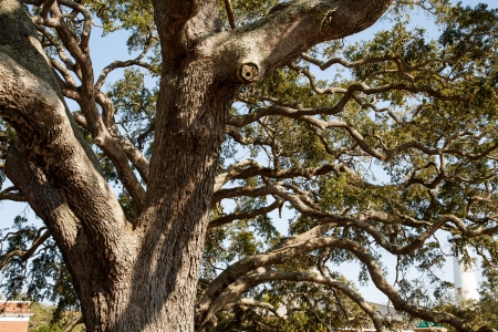 huge tree: A huge ancient live oak tree in sun dappled light Stock Photo