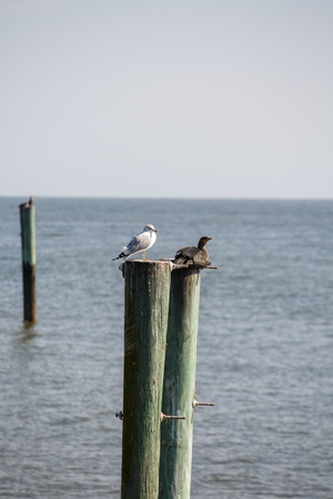seabirds: Two seabirds on weathered pilings rising from the sea