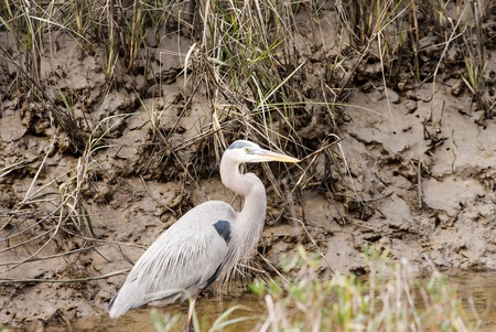 A great blue heron standing in water of a muddy stream