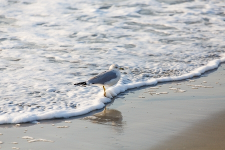 A seagull on a beach at the edge of the sea