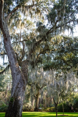 Spanish Moss in Trees in sunny park with green grass