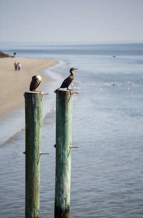 pilings: Coastal Birds on old wood pilings with beach in background