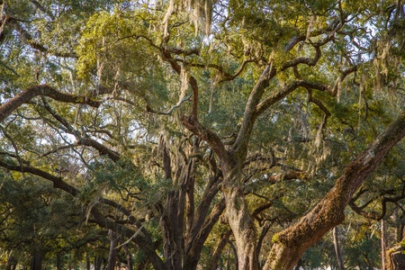 Spanish moss draped in huge, ancient live oak trees in southern United States photo
